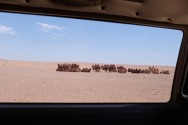 Passing a herd of camels