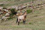 Wild horse - przewalski
